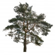 Old large dark green pine on white — Stock Photo #36749091