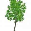 Bright green tree isolated on white — Stock Photo #36749109