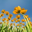 Yellow tulips growing to blue sky — Stock Photo #36749183