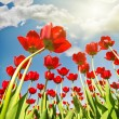 Red tulips growing to sunlight — Stock Photo