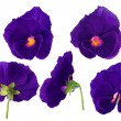 图库照片: Purple pansy flower from different sides