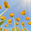 Bottom-up view on golden tulips — Stock Photo #36749201