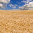 Golden wheat field and blue sky in the distance — Stock Photo