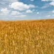 Field of gold wheats with long awns — Stock Photo