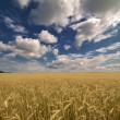 Yellow wheat field under blue sky and clouds — Stok fotoğraf
