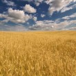 Golden wheat field under dark blue sky — Stock Photo