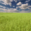 Green wheat field under dark blue sky — Stock Photo