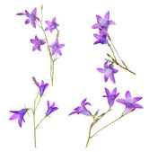 Set of Spreading bellflowers on white — Stock Photo