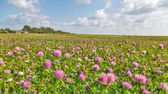 Large meadow of pink clover — Stockfoto
