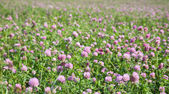Pink and green clover meadow — Stock Photo