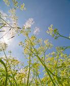 Milfoil grow to blue sky — Stock Photo