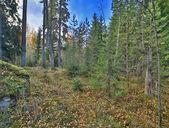 Paisaje con bosque de pino otoño — Foto de Stock