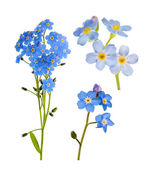 Set of forget-me-not blue flowers isolated on white — Stock Photo