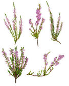 Set of five pink blossoming heather branches — Stock Photo
