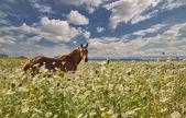 Brown horse in high wild flowers — Stock Photo