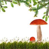 Two orange-cap boletus mushrooms under fir branches — Stock Photo