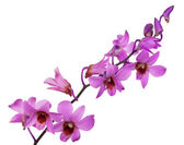 Light pink orchids with purple centers — Stock Photo