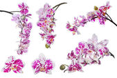Set of isolated orchid flowers with large pink spots — Stock Photo