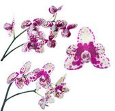 Set of light yellow orchids in large pink spots — Stock Photo