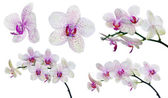Collection of isolated light orchid flowers in pink spots — Stock Photo