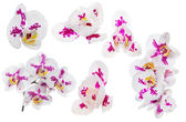 Set of orchid flowers with large pink spots — Stock Photo