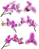 Set of three petals orchid flower with pink spots — Stock Photo