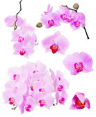 Collection of pink beautiful orchid flowers on white — Stock Photo