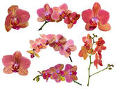 Set of bright orchid flowers with pink strips — Stock Photo