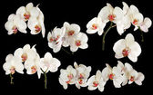 White orchids with red centers collection on black — Stock Photo