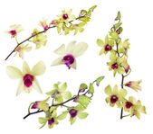 Set of yellow orchid flowers with purple centers — Stock Photo