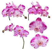 Set of pink orchid flowers in dark spots on white — Stock Photo
