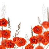 Flores papoulas vermelhas na grama de cereais isolado no branco — Foto Stock