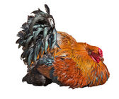 Bright recumbent rooster isolated on white — Stock Photo