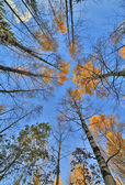 Fall birches on blue sky background — Stock Photo