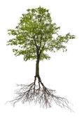 Single green linden tree with root — Stock Photo