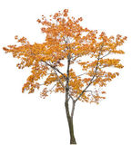 Bright isolated orange maple tree — Zdjęcie stockowe