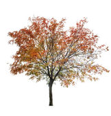 Rowan tree at late autumn on white — Stock Photo