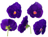 Purple pansy flower from different sides — Stock Photo