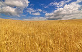 Golden wheat field under blue sky and clouds — Stock Photo