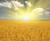 Gold wheat field under clouds — Foto de Stock