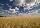 Yellow wheat field under blue sky and clouds — Stock Photo