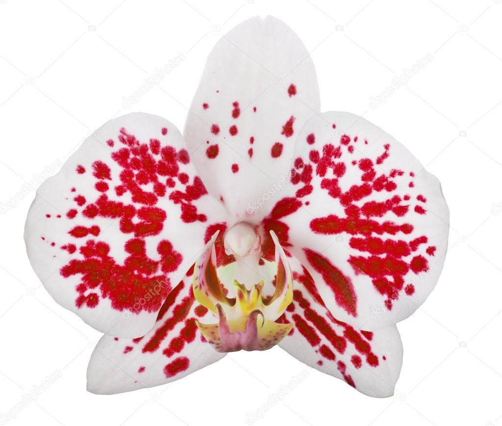 einzelne wei e orchidee blume mit roten punkten stockfoto dr pas 36748619. Black Bedroom Furniture Sets. Home Design Ideas