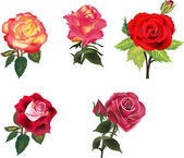 Five isolated red and orange roses collection — Stock Vector