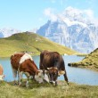 Cows in an Alpine meadow. Jungfrau region, Switzerland — Stok fotoğraf