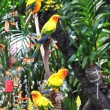 Sun Conure parrots — Stock Photo