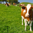 Cows in Emmental region, Switzerland — Foto Stock