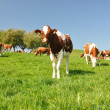 Cows in Emmental region, Switzerland — ストック写真 #20841223