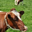 Cows in Emmental region, Switzerland — ストック写真