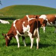 Stockfoto: Cows in Emmental region, Switzerland
