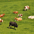 Royalty-Free Stock Photo: Herd of cattle on a scenic Alpine meadow.